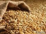 Feed Barley - photo 1