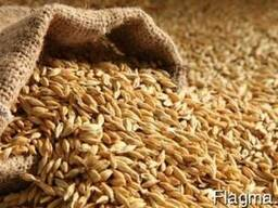Feed Barley