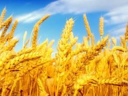 Пшеница, 2-й, 3-й класс, фураж, кукуруза FOB Одесса .