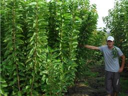 Саженцы плодовых деревьев из Греции